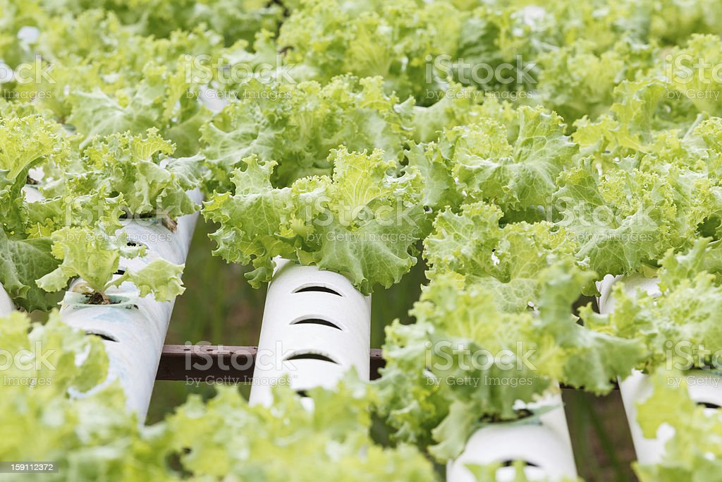 Hydroponic vegetable is planted in a garden. royalty-free stock photo
