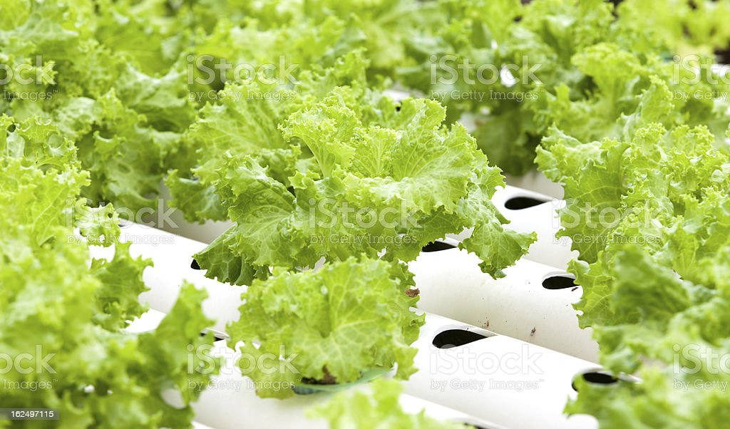 Hydroponic vegetable is planted in a garden.