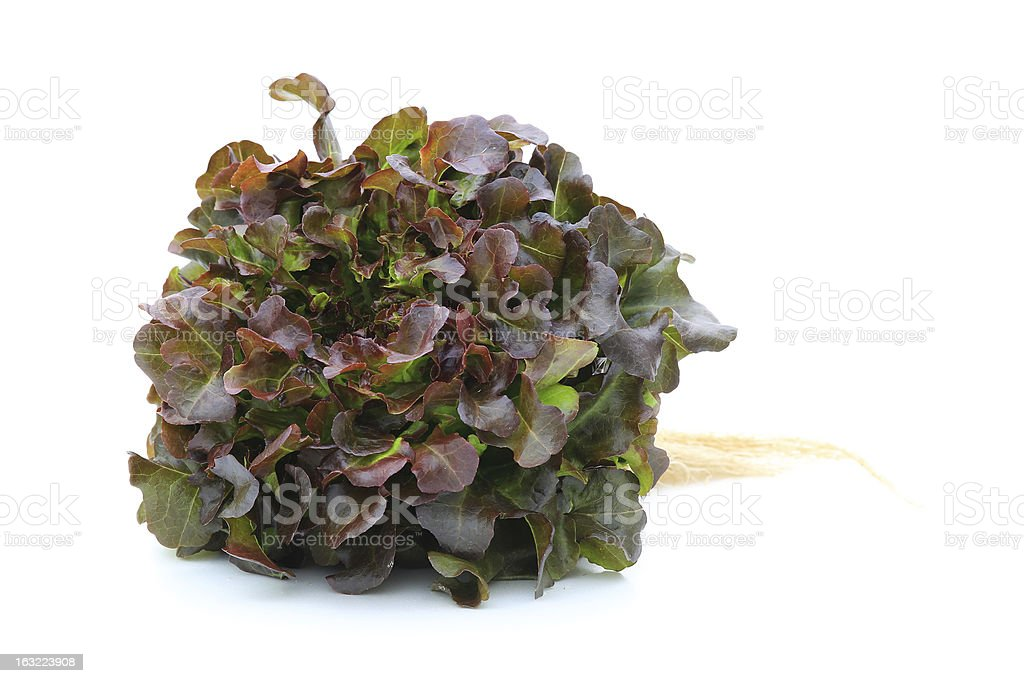 Hydroponic vegetable (Red Oak) royalty-free stock photo