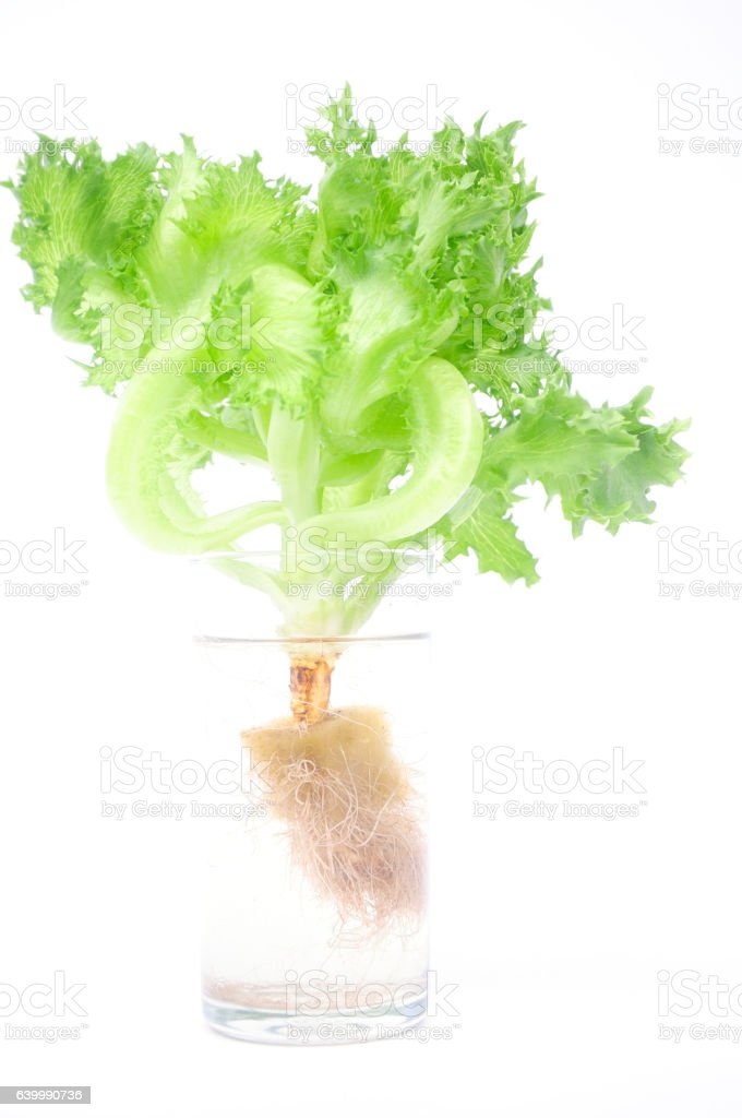 Hydroponic vegetable with root in glass with water stock photo