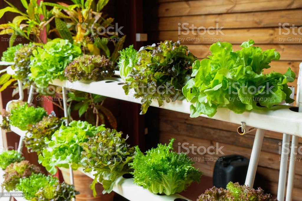 Hydroponic vegetables growing in greenhouse - Foto stock royalty-free di Acqua