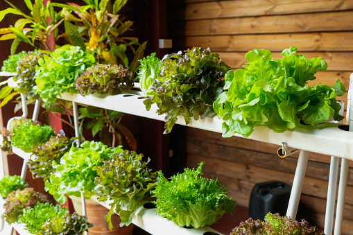 Hydroponic Vegetables Growing In Greenhouse - Fotografie stock e altre immagini di Acqua