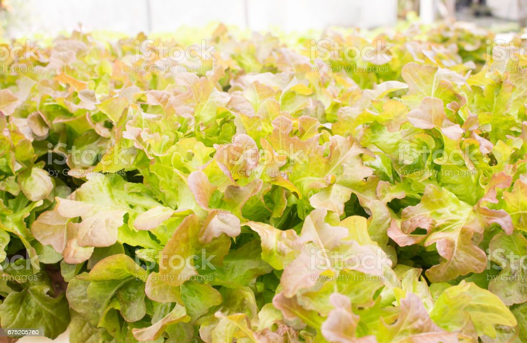 Hydroponic vegetables in the green house royalty-free stock photo