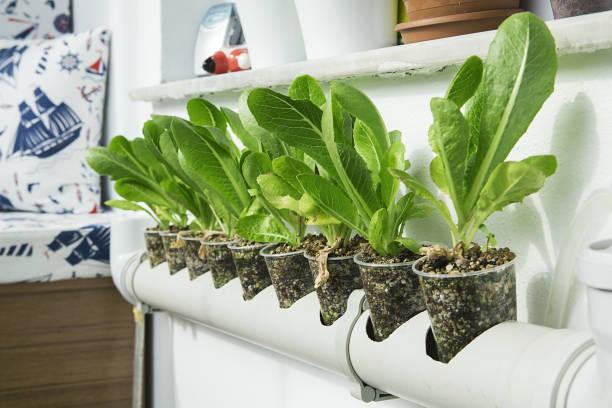 Fazenda de salada de hortaliças hidropônicas. - foto de acervo