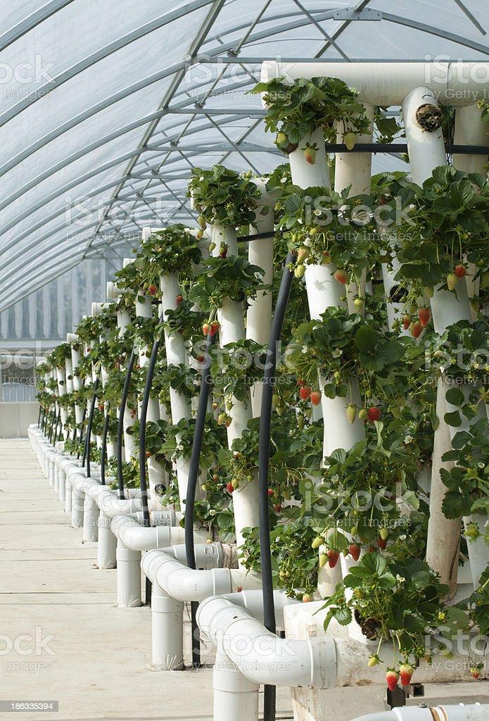 Vines Hydroponically crecido fresa - Foto de stock de Agricultura libre de derechos