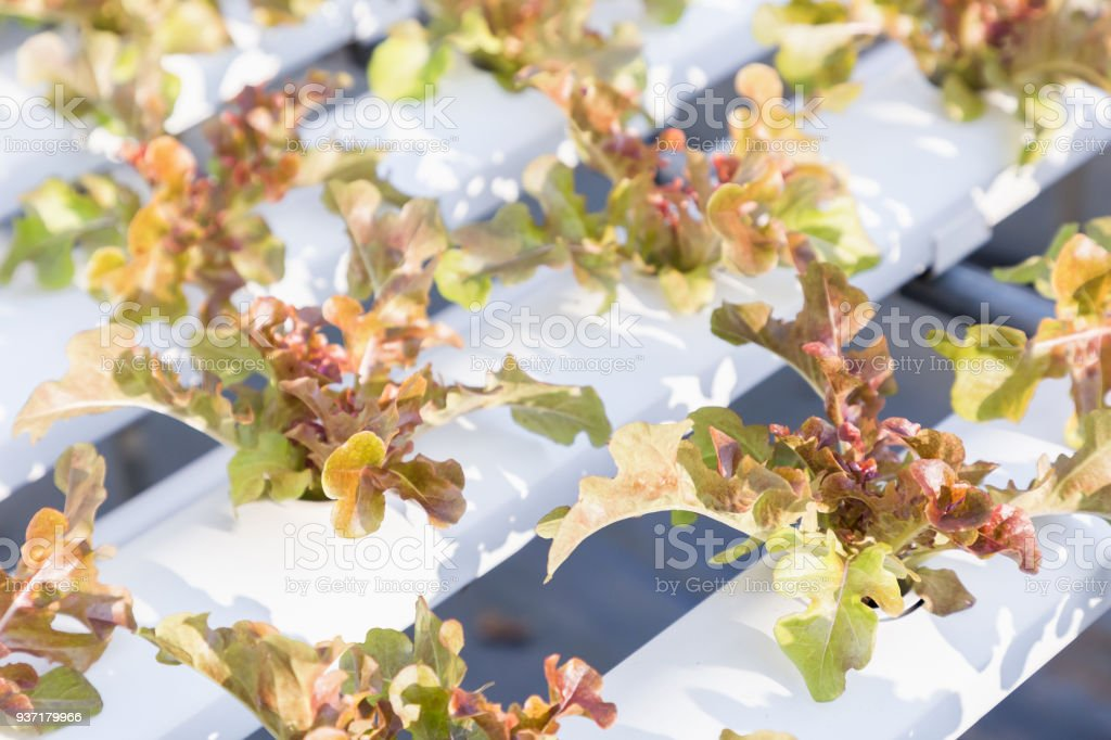 Hydroponics greenhouse. Organic green vegetables salad in hydroponics farm for health food and agriculture concept design. Hydroponics is a non soil plant. stock photo