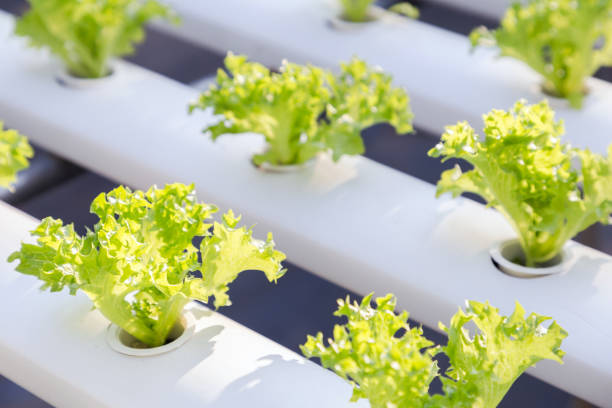 Hydroponics greenhouse. Organic green vegetables salad in hydroponics farm for health, food and agriculture concept design. Hydroponics is a non soil plant. - foto stock