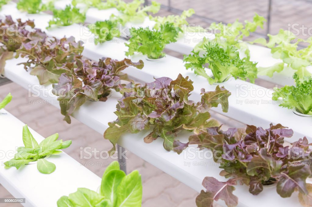 Hydroponics greenhouse. Organic green vegetables salad in hydroponics farm for health, food and agriculture concept design. Hydroponics is a non soil plant. stock photo
