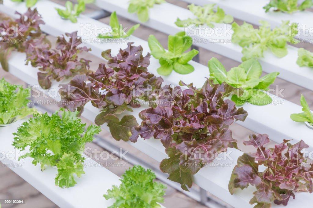 Hydroponics växthus. Ekologiska gröna grönsaker sallad i hydroponics gård för hälsa, livsmedel och jordbruk konceptdesign. Hydroponics är en icke markens växt. - Royaltyfri Abstrakt Bildbanksbilder