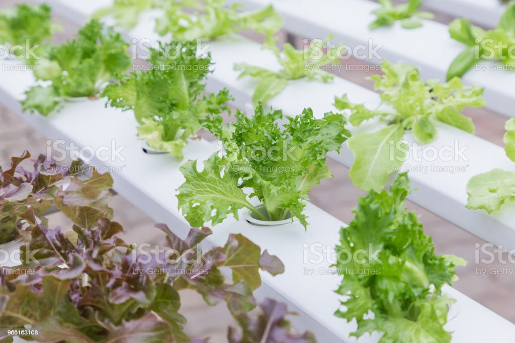Hydroponics greenhouse. Organic green vegetables salad in hydroponics farm for health, food and agriculture concept design. Hydroponics is a non soil plant. - Стоковые фото Абстрактный роялти-фри