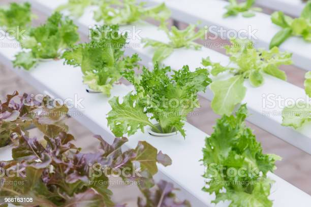 Hydroponics Greenhouse Organic Green Vegetables Salad In Hydroponics Farm For Health Food And Agriculture Concept Design Hydroponics Is A Non Soil Plant — стоковые фотографии и другие картинки Абстрактный