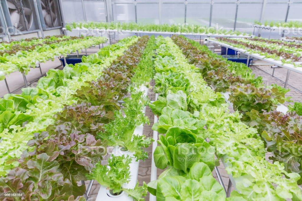 Hydrocultuur kas. Organische groene groenten Salade in hydrocultuur boerderij voor gezondheid, voedsel- en Landbouworganisatie conceptontwerp. Hydroponics is een rookvrij bodem-plant. - Royalty-free Bedrijfsleven Stockfoto
