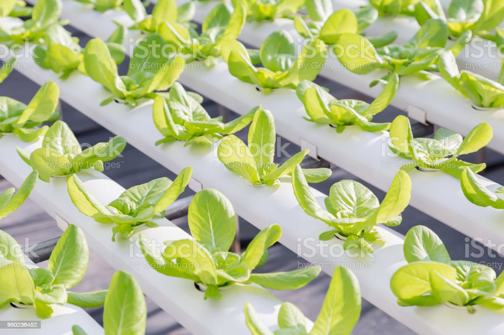 Hydroponics greenhouse. Organic vegetables salad in hydroponics farm for health, food and agriculture concept design. Hydroponics is a non soil plant. stock photo