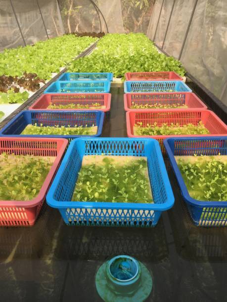 Hydroponics method of growing plants, in water, without soil. Aeroponics Salad vegetable. stock photo