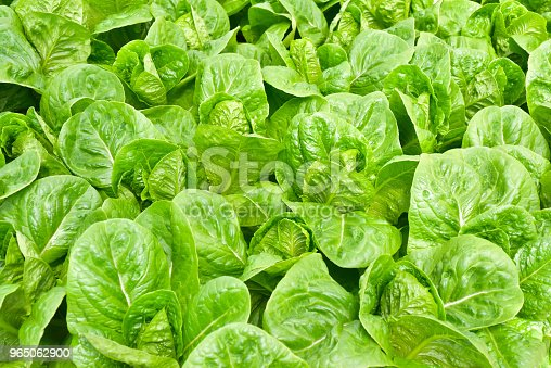Hydroponics Method Of Growing Plants Stock Photo & More Pictures of Agriculture
