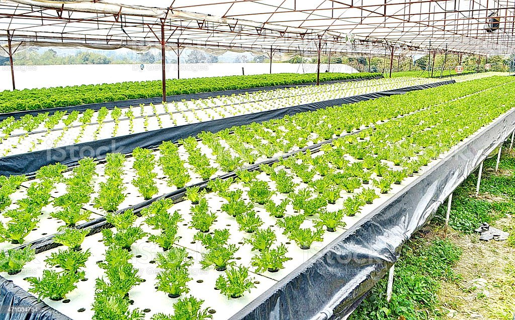 Hydroponics method of growing plants using mineral nutrient solutions stock photo