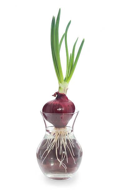 Hydrokultur. – Foto