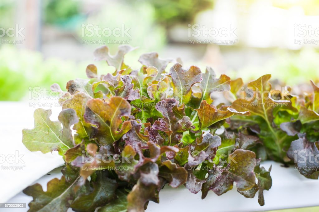 Hydroponics plants. Aeroponics Salad vegetable. stock photo