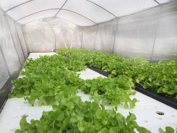 Hydroponics plants, in water, without soil. Aeroponics Salad vegetable. stock photo