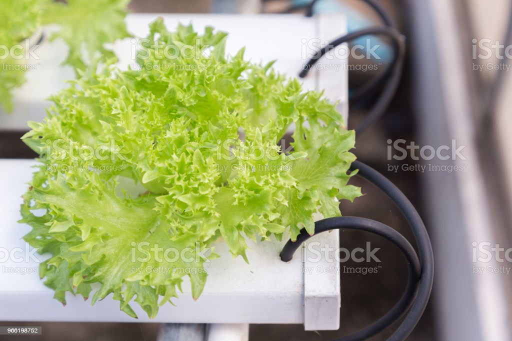 Hydroponics System Greenhouse And Organic Vegetables Salad In