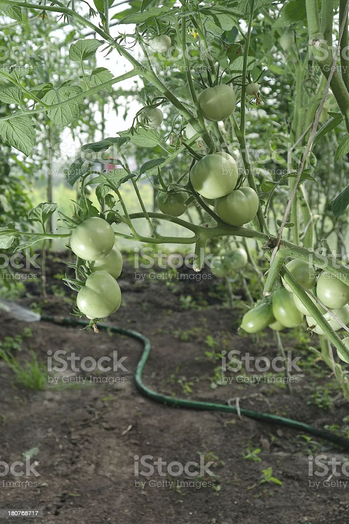 Hydroponics tomatoes royalty-free stock photo