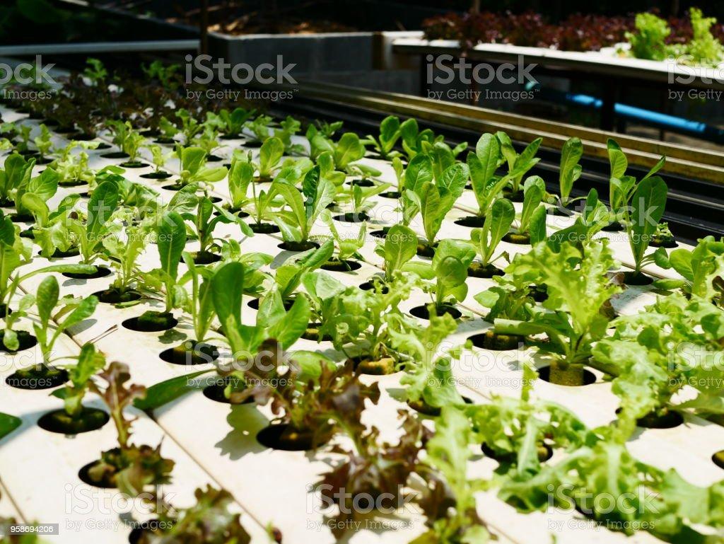 Fazenda legumes sobre hidropônica em - foto de acervo