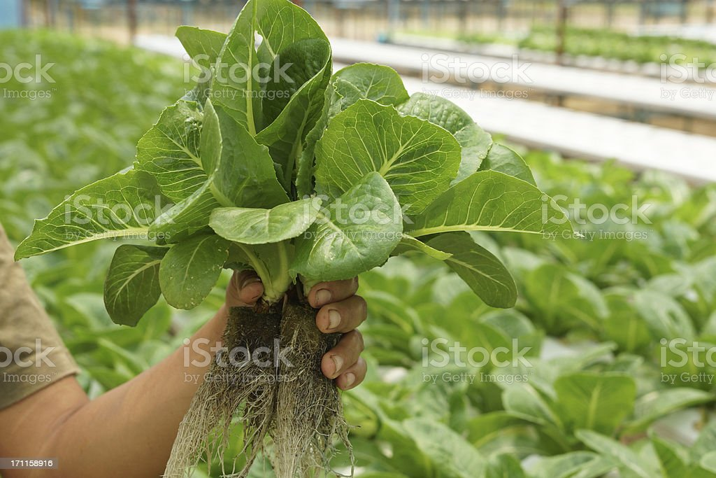 Hydroponics Vegetable in Hand at Farm (Green Cos Lettuce) royalty-free stock photo
