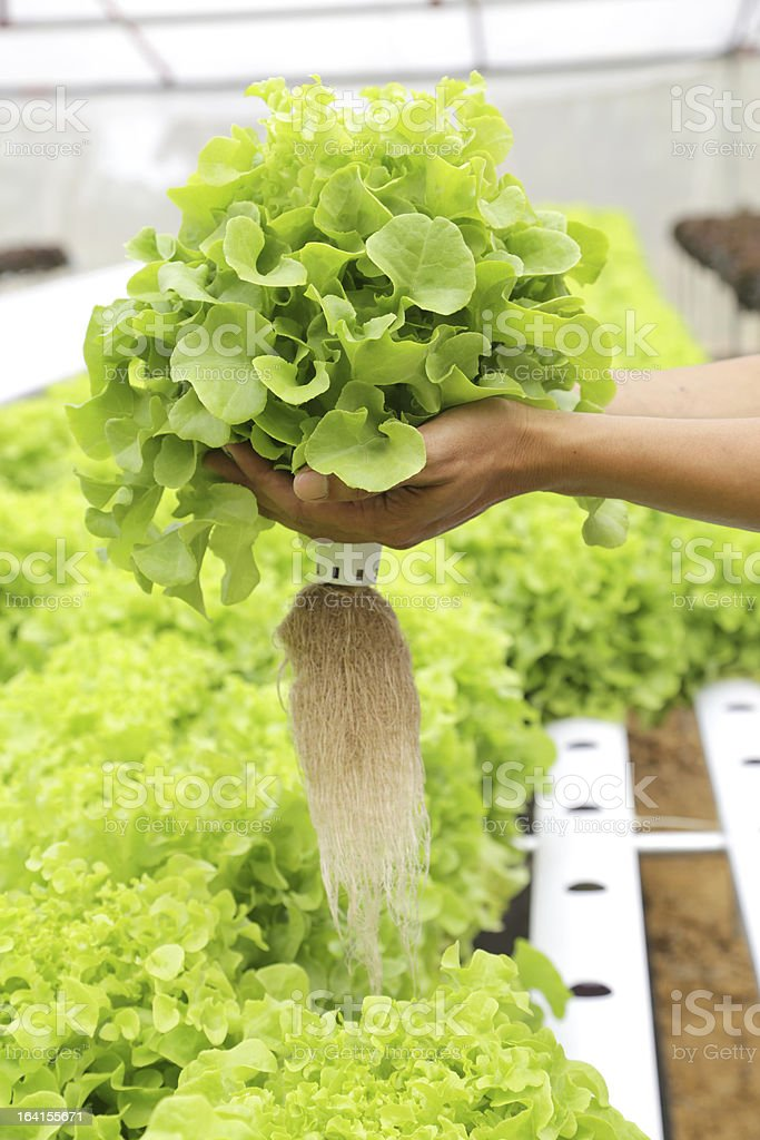 Hydroponics vegetable on hand royalty-free stock photo