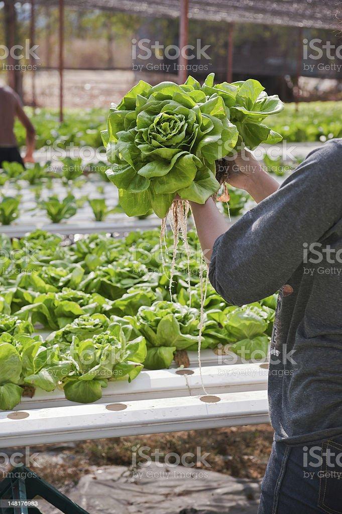 hydroponics vegetable. stock photo