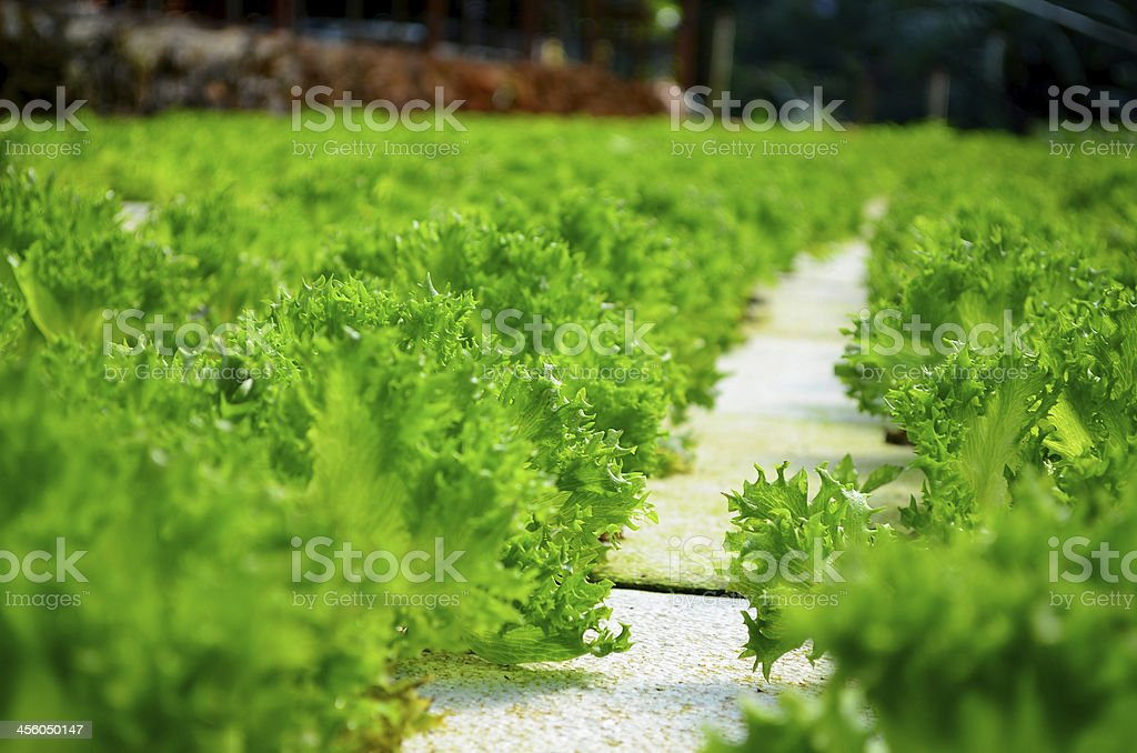 Hydroponics Vegetable Plantations stock photo