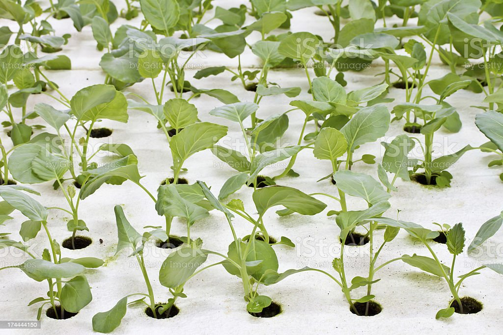 Hydroponics Vegetable, the future nutrition royalty-free stock photo