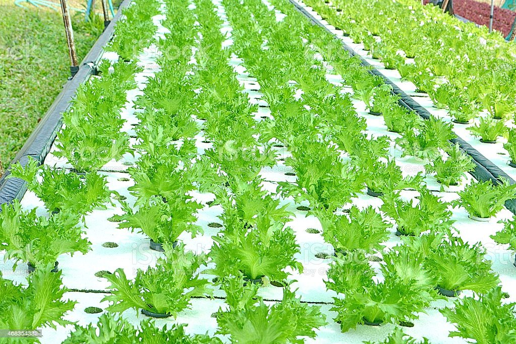 Hydroponics Vegetables royalty-free stock photo