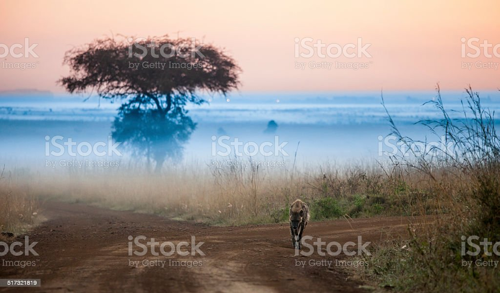 hyena before dawn with fog stock photo