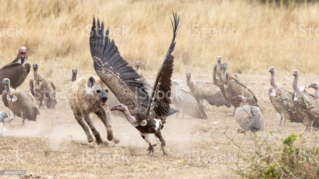 Hyena chasing vultures away from a kill stock photo
