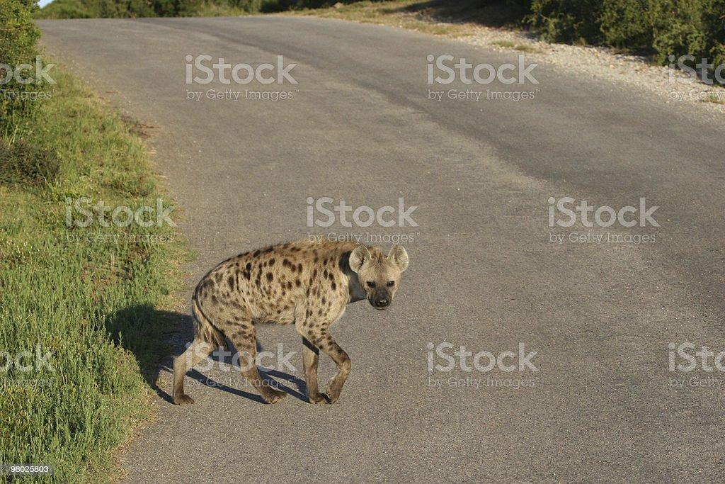 Hyena Crossing royalty-free stock photo