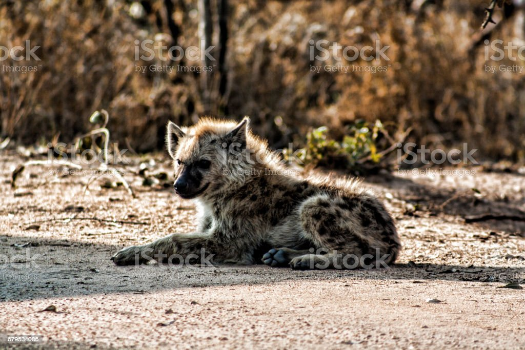 Hyena cub ,Kruger Park, South Africa royalty-free stock photo
