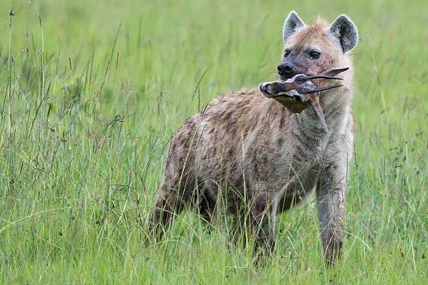 Hyena eating Thompson's Gazelle stock photo