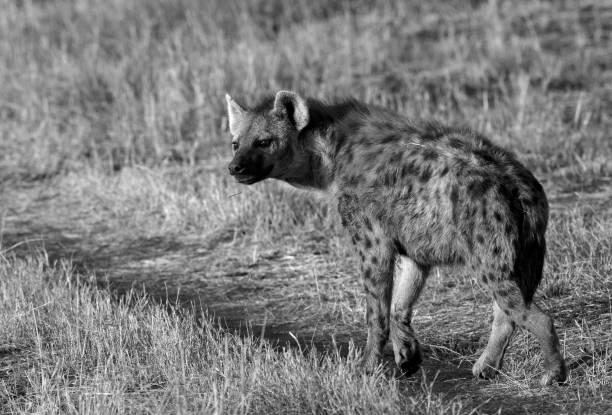 Hyena, Masai Mara stock photo