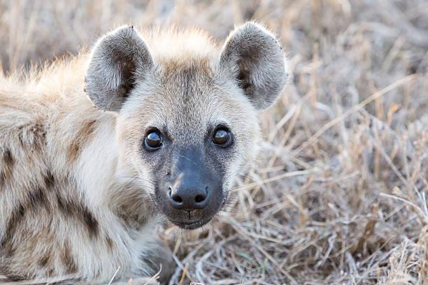 hyena - hyena stockfoto's en -beelden