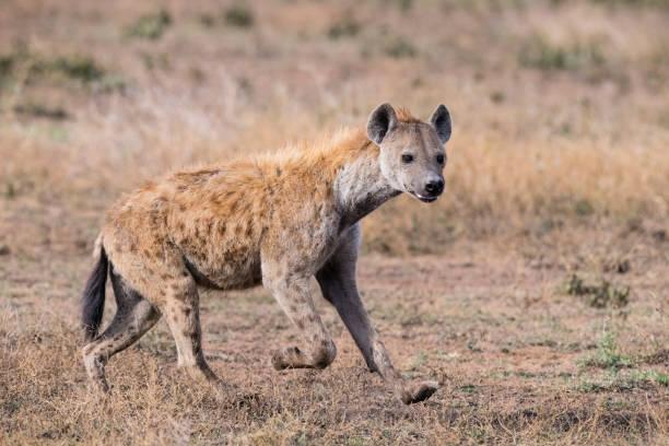 hyena's uitgevoerd, afrika - hyena stockfoto's en -beelden