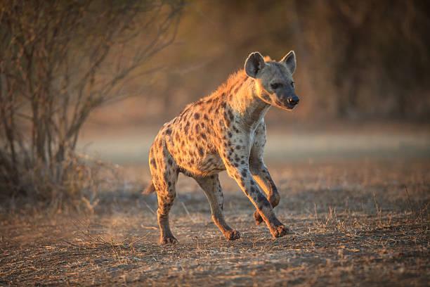 hyena running in the kruger national park - hyena stockfoto's en -beelden