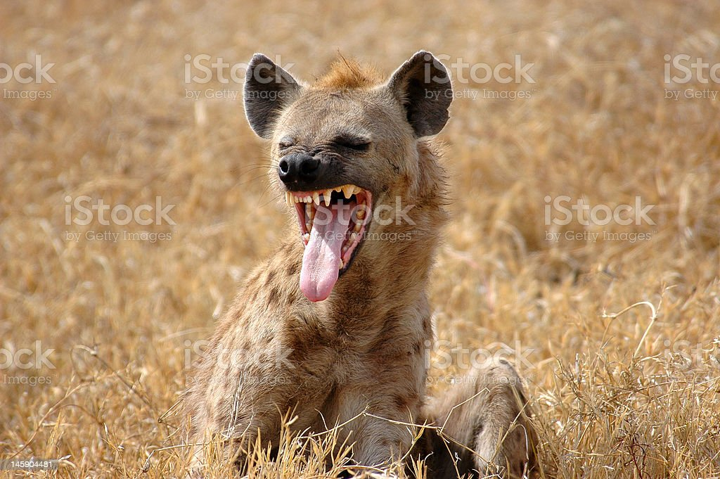 Hyena Smiling royalty-free stock photo