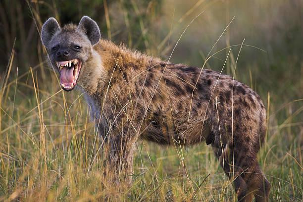 hyena snarling - hyena stockfoto's en -beelden