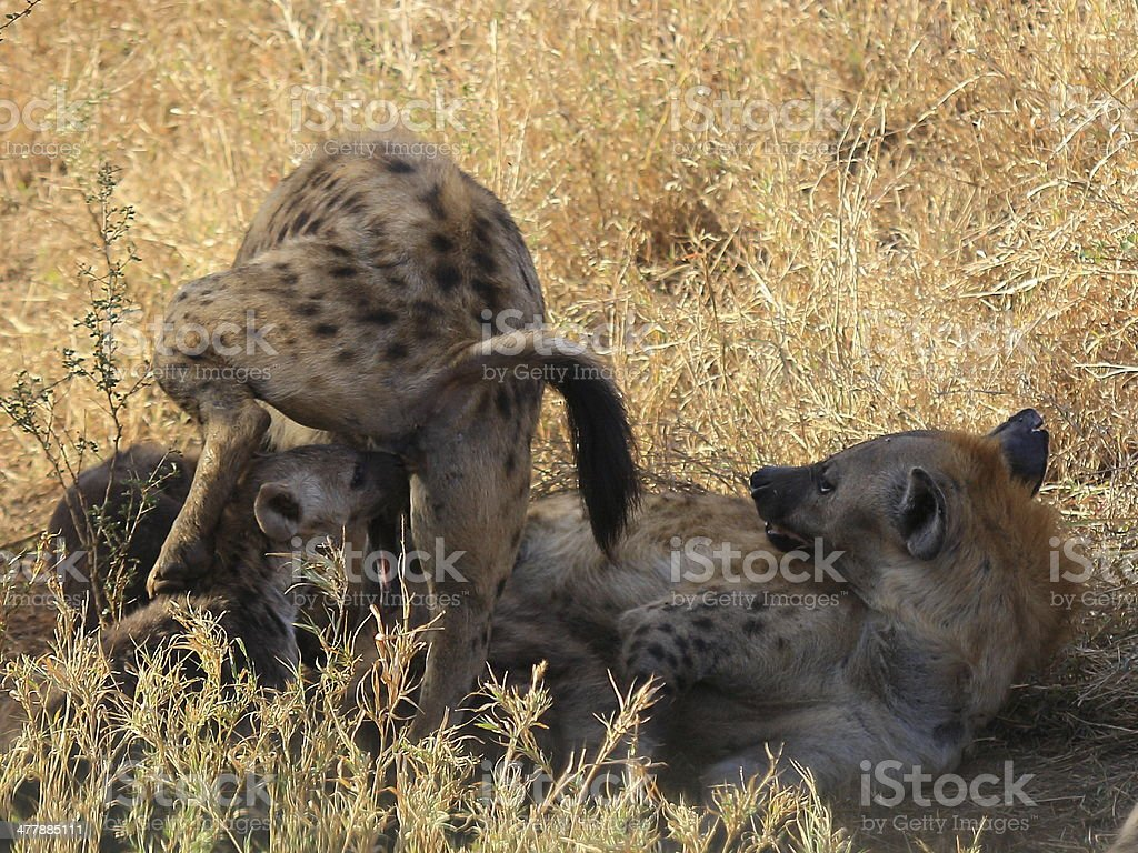 Hyena social behaviour, sniffing 'false' penis royalty-free stock photo