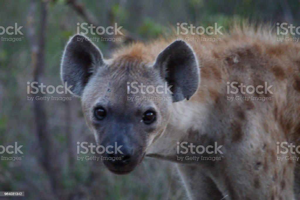 Hyena Upper Body Staring at Camera - Royalty-free Africa Stock Photo
