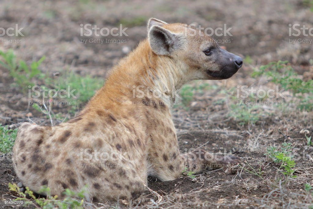 Hyena Waiting Patiently 2 stock photo