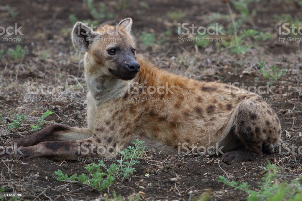 Hyena Waiting Patiently stock photo