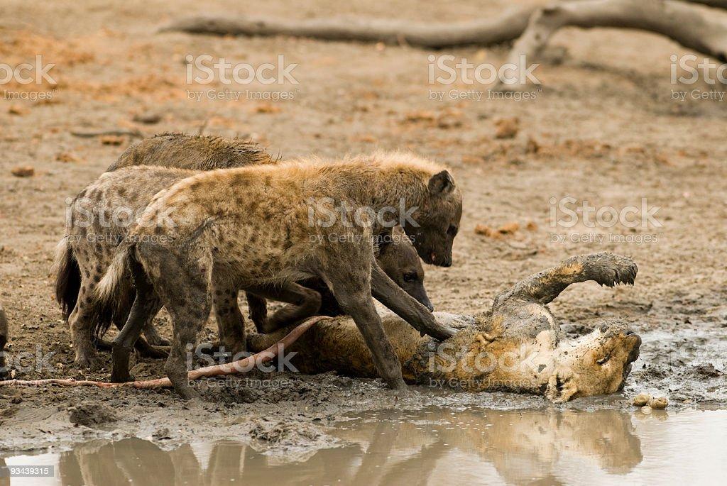hyenas eat a lion stock photo