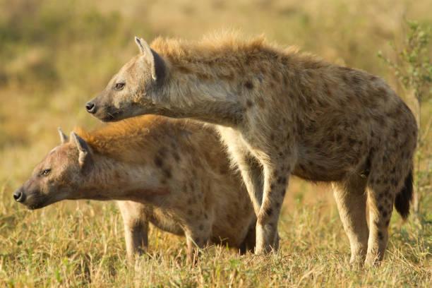 hyena's in kenia - hyena stockfoto's en -beelden