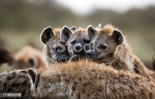 Group of hyenas in the wild.